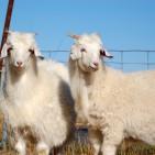 Australian_Cashmere_Goats