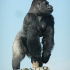 Gorilla Nicola Williscroft