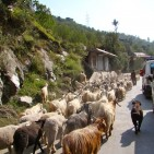 Herd-of-goats-India-road