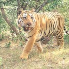 Indian forest rangers hope to end the T1 TIGER terror image