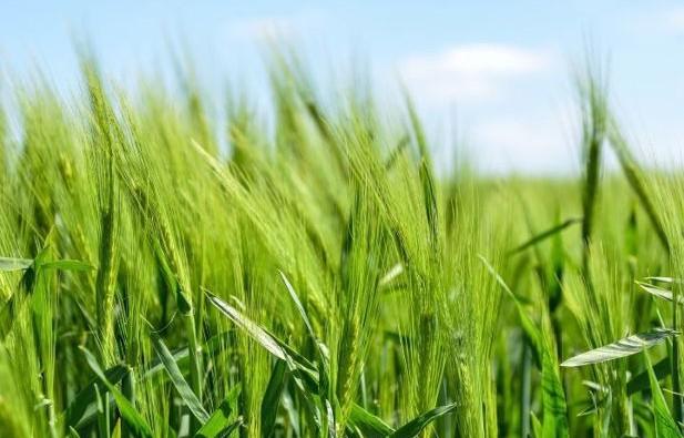 barley-in-a-field