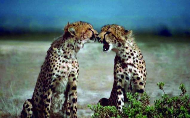 two-cheetahs-african-animals-acinonyx-jubatus-facing-each-other_w725_h491